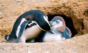 love-1st-place-magellan-penguin-mom-preens-chick-magellan-island-chile-c